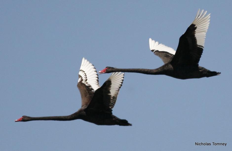 Black Swan Bird | Black Swans, Gordon River, Tambellup ...