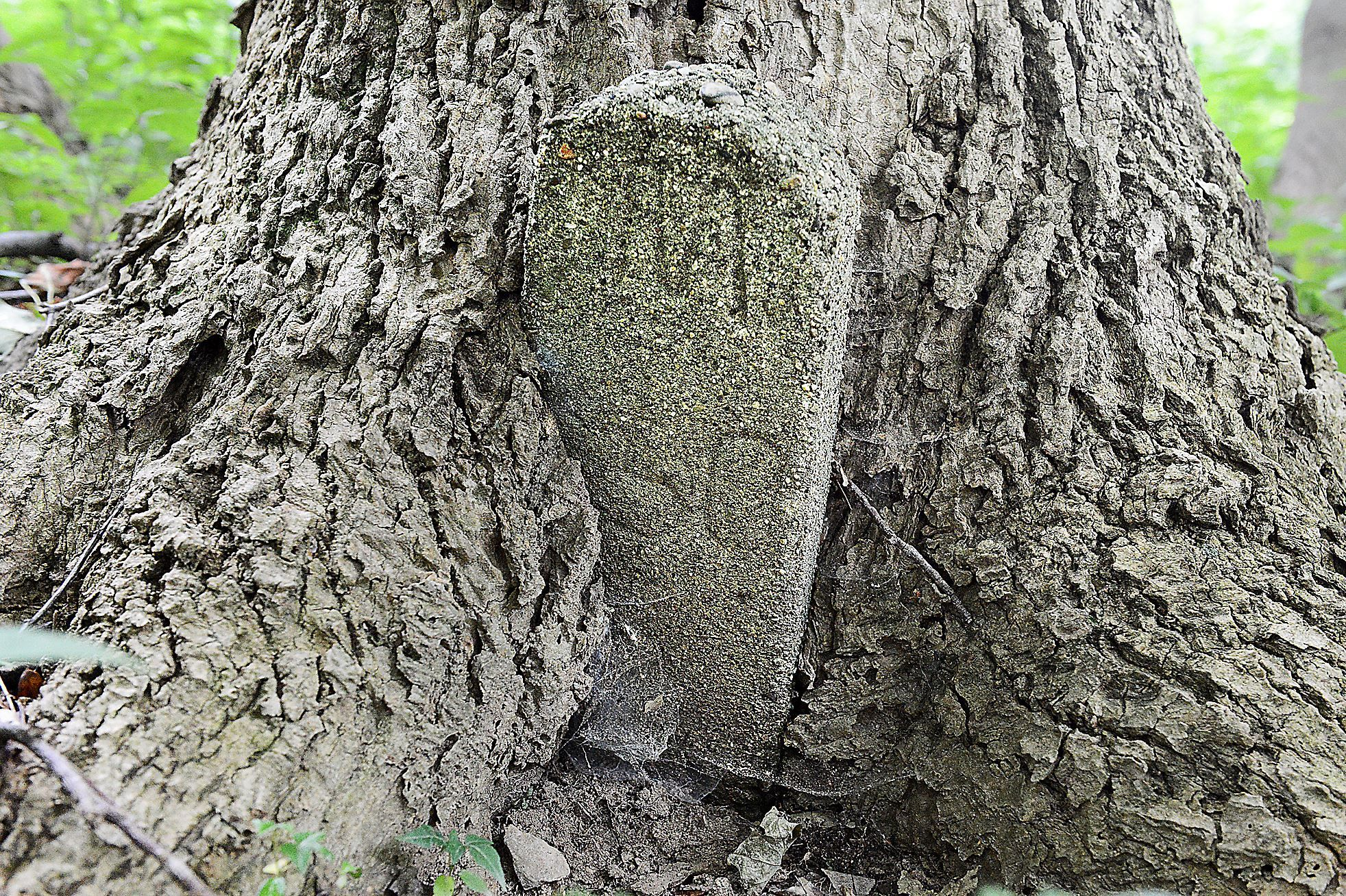 Bob Donaldson/Post-Gazette A tree has grown around an old grave marker at Dixmont Cemetery in the woods behind the former Dixmont State Hospital property in Kilbuck.
