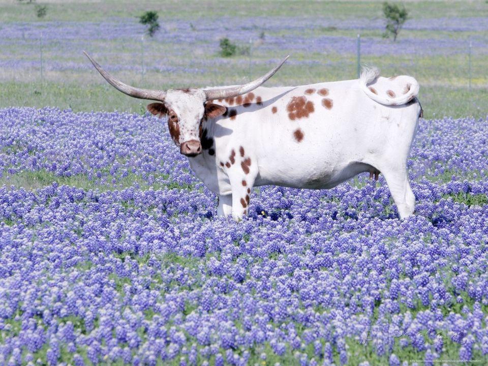 Longhorn Grazing on Midlothian, Texas