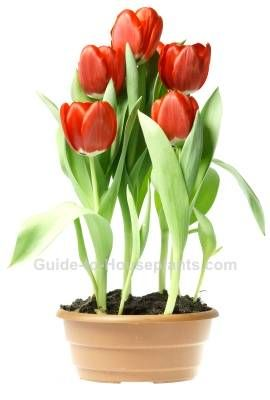 Growing Tulips Indoors Steps For Forcing Tulip Bulbs Growing Tulips Planting Tulips Tulip Bulbs