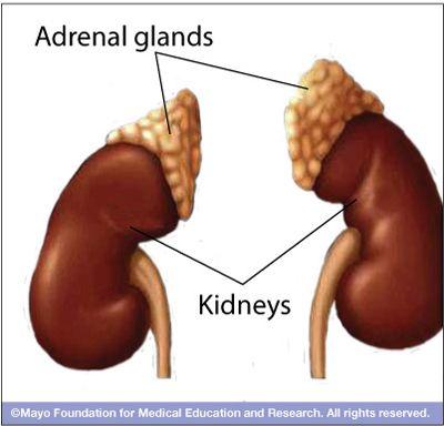 Image result for adrenal glans