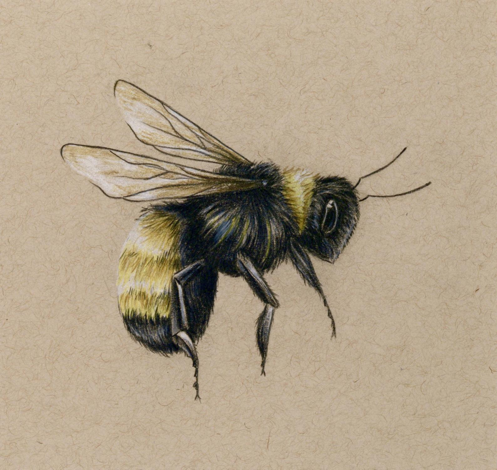 Bee art PRINT drawing  colored pencil bee flying | Etsy