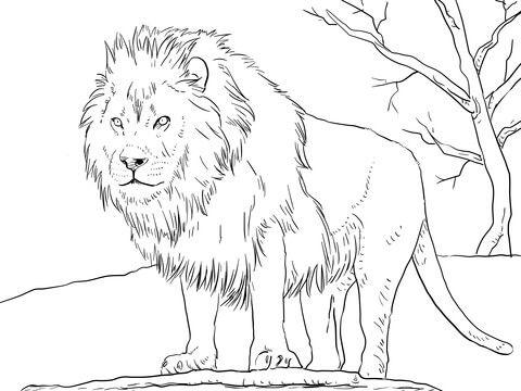 León Africano Macho Dibujo para colorear | animales | Pinterest ...