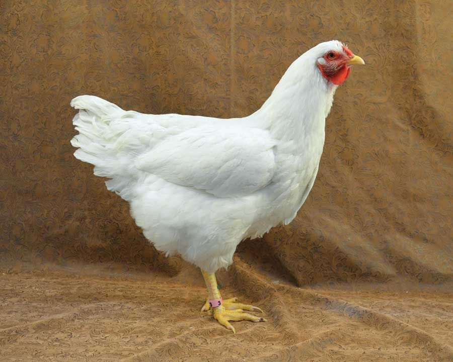 Heritage Breeds Can Be The Best Egg Laying Chickens   Livestock   GRIT  Magazine