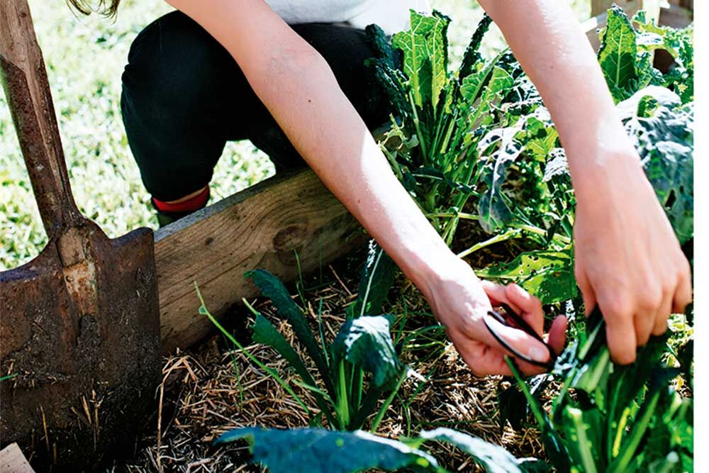 How to grow kale growing kale types of kale growing