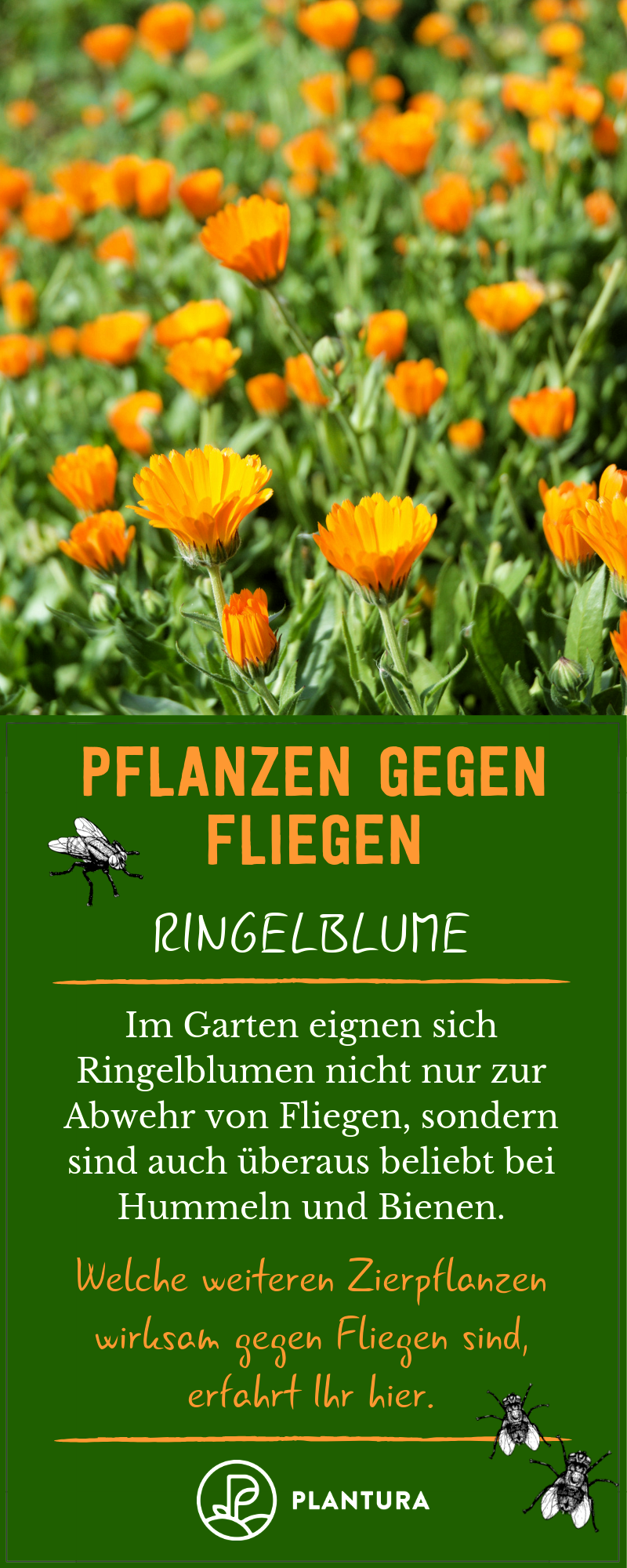 Pflanzen Gegen Fliegen Ringelblume Die Ringelblume Ist Eine Sehr Bienenfreundliche Pflanze Und Vertreibt Gleichzeitig Lasti Pflanzen Ringelblume Zierpflanzen