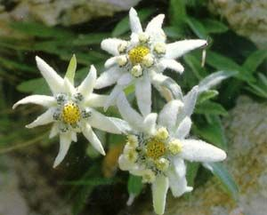 World's Amazing Pictures ,Funny Pictures,Tourist Places,Fruits,Flowers,Cars And More Galleries: Edelweiss Flowers