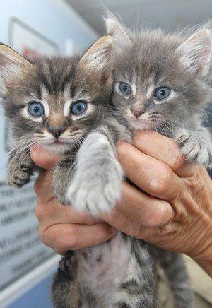 grey tabby kitten with blue eyes - Google Search | Kittens ...