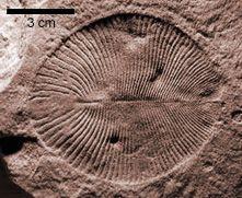 Vendian Biota | Three of the many interesting Ediacaran fossil animals. From the left ...
