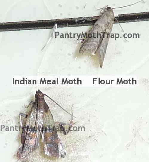 4383f9b381df4a2dd59c7d373b120b74 - How To Get Rid Of Pantry Moths And Larvae