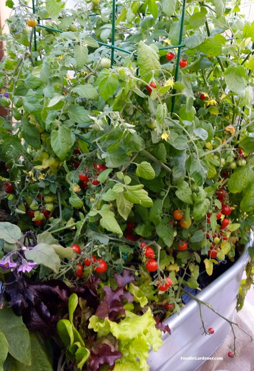 Cherry Tomatoes Growing In Metal Trough With Salad Greens 400 x 300