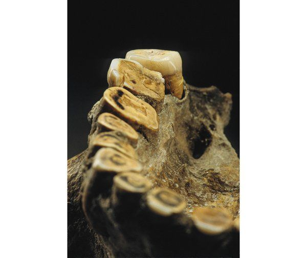 Though buried far inland, Kennewick Man ate marine life and drank glacial meltwater. Analysis of just one of his worn teeth might pin down h...