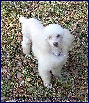 Guinnee White Mini Poodle Adult W Chocolate Pigmentation With