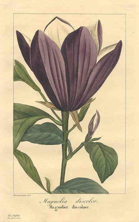 Magnolia 1836