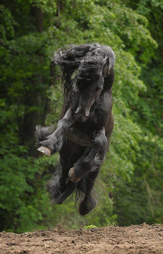 Friesian les cheveux ma vie frison cheval frison et cheval qui saute - Frison qui saute ...