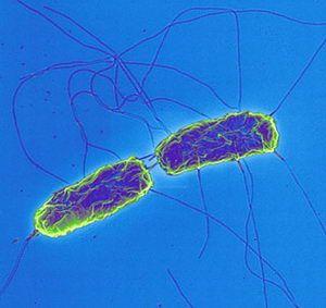 Evolution of typhoid bacteria
