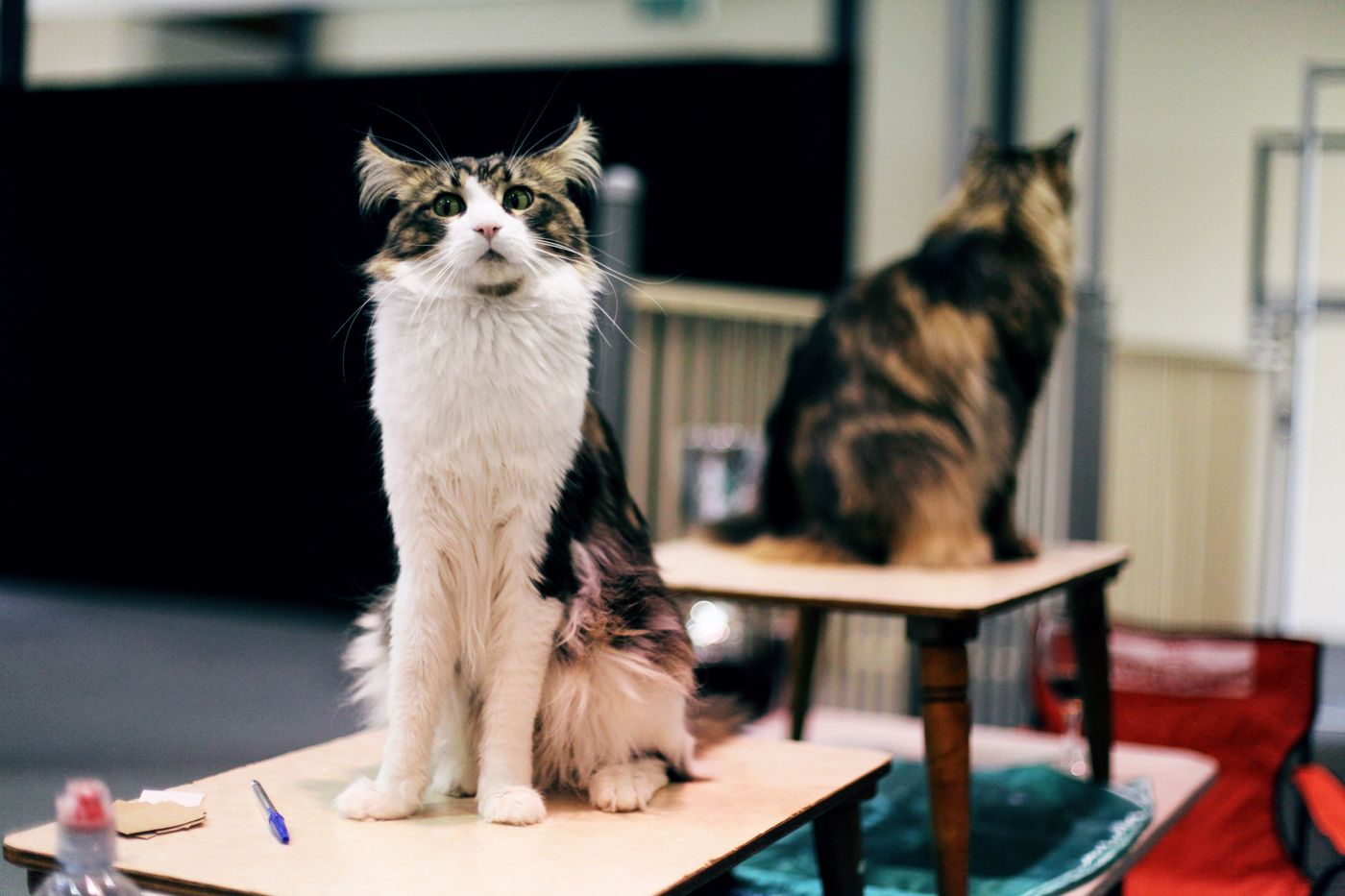 Ready for the competition #cats #eastershow #animals #pets