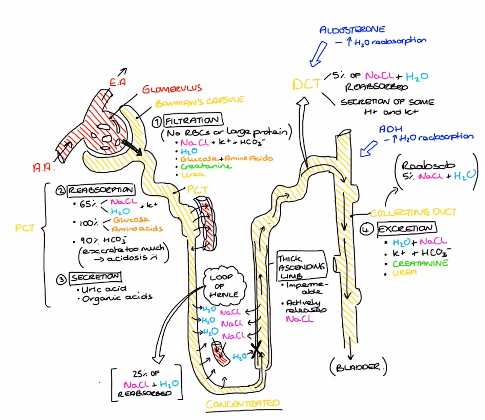 Physiology Of The Nephron Medical School Studying Renal Physiology Physiology