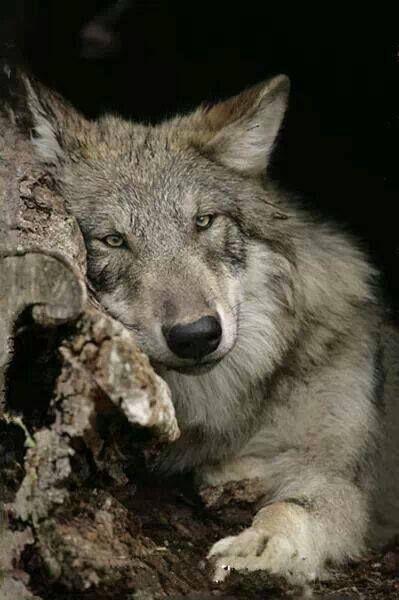 что картинки страдающего волка следует делать это