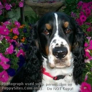 English Springer Spaniel Dog Puppy Website Listings At Puppysites Com Springer Spaniel Spaniel Dog Spaniel