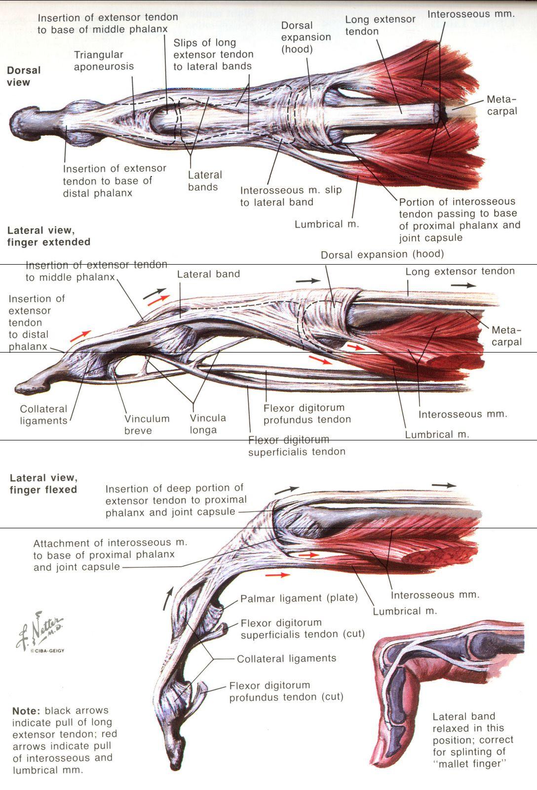 Aparato extensor | Anatomía de Tuke | Pinterest | Anatomía ...