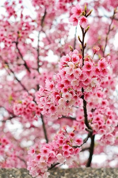 Cherry Blossoms Www Weheartit Com By Nessie Beautiful Flowers Wallpapers Wallpaper Nature Flowers Lotus Flower Wallpaper