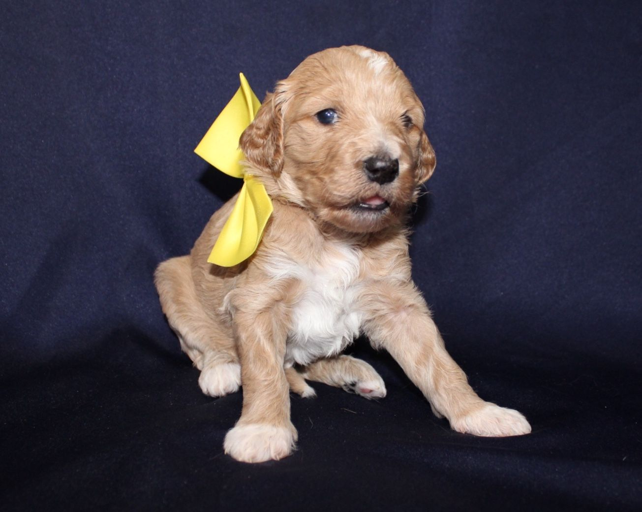 Lilly A Female Ckc Goldendoodle Puppy For Sale In Cherry Creek
