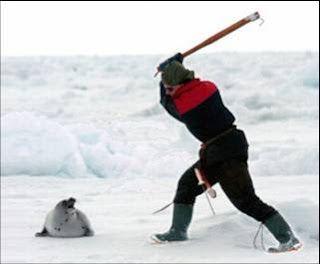¿Manejo o Crueldad?  El Ministerio de Pesca canadiense decidió reducir a 270.000 la cuota de focas que los pescadores canadienses podrán cazar este año debido a la falta de hielo en el Golfo de San Lorenzo.