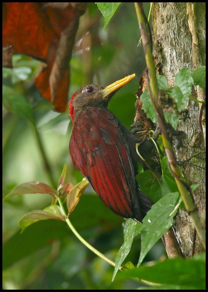 Maroon Woodpecker | Birds, Bird species, Beautiful birds