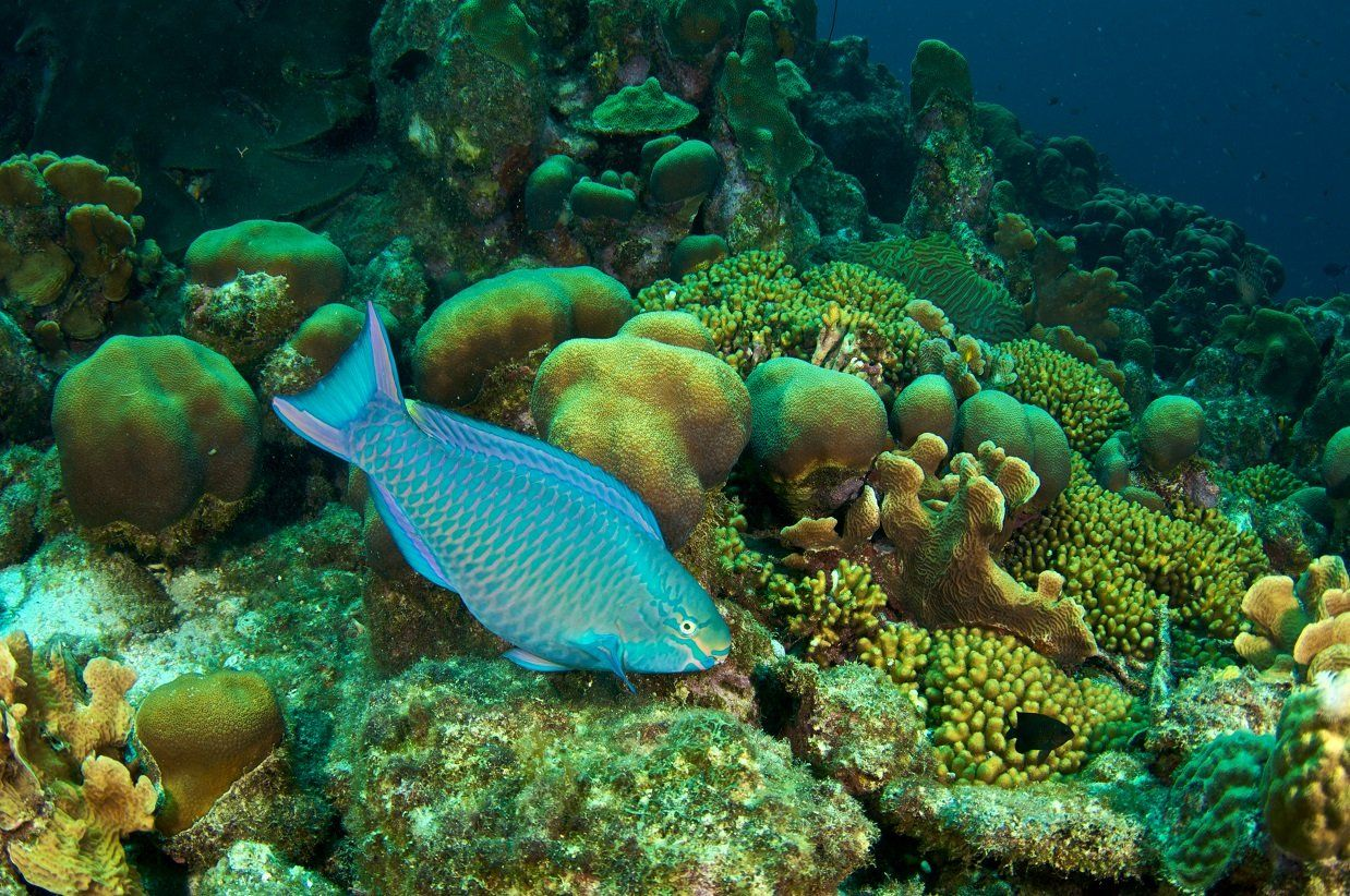 ^ Parrotfish keep coral healthy. Queen parrotfish on a