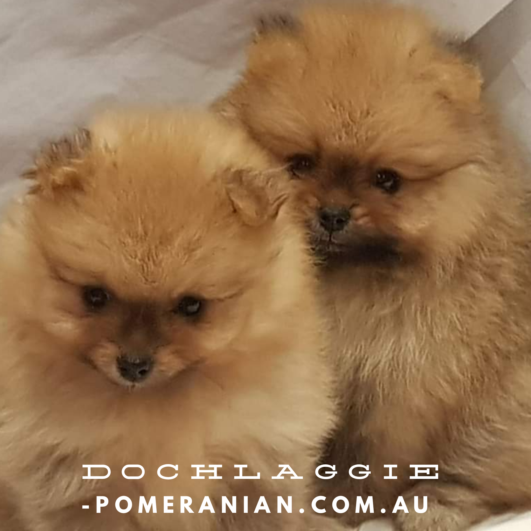 Dochlaggie Pomeranian Puppies Melbourne Dochlaggie Dochlaggiepomeranians Pomeranians Pomeranian Pomeraniandog Pomeranian Puppy Puppies Pomeranian
