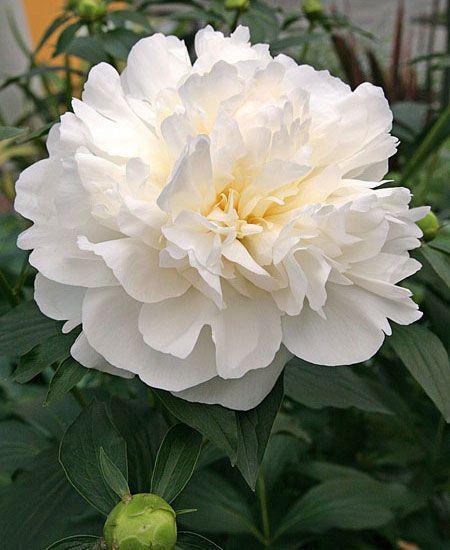 Luktpion Duchesse de Nemours 1 st:  (Paeonia lactiflora)  En krämvit, underbart doftande skönhet. En av de bästa vita dubbelblommande sorterna. Passar även fint till snitt. Trivs i sol till halvskugga. Har inga stora krav fast föredrar en väldränerad och näringsrik jord. Blommar i maj-juni. Kan odlas i hela landet, men utvecklas bäst i väldränerat och skyddat läge. Höjd ca 90 cm. 1 st.