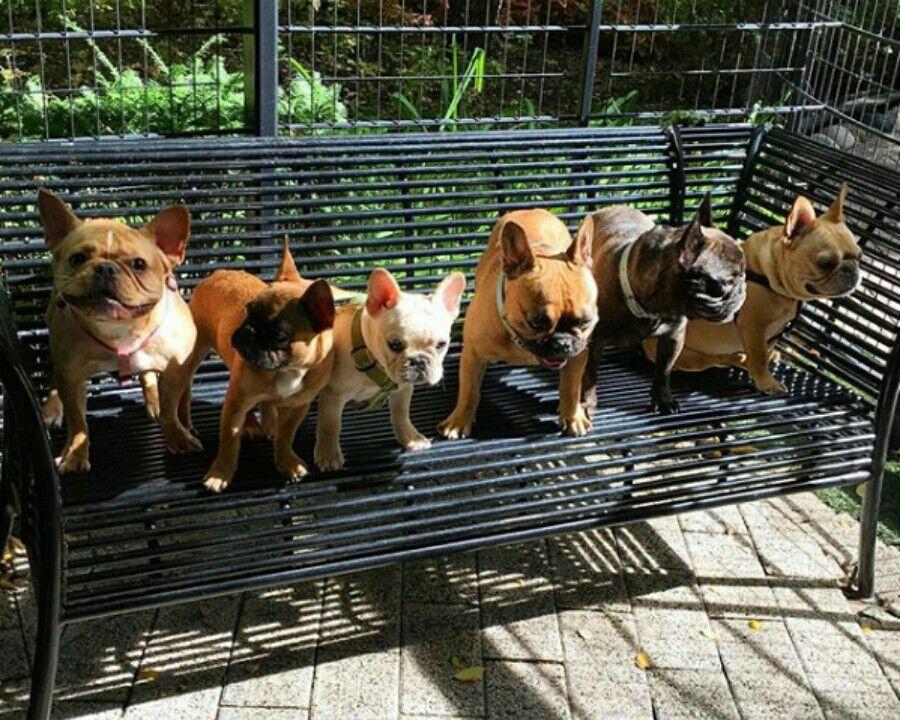 pinterest badgalronnie Dog park, Dogs, French bulldog