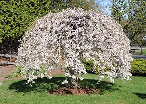 Weeping Yoshino Cherry Tree Is A Gorgeous Photogenic Flowering Tree That Breaks Out In A Cascade Of Shimmering White Or Pale Pink Blossoms In Early Spring In 2020 Weeping Cherry Tree