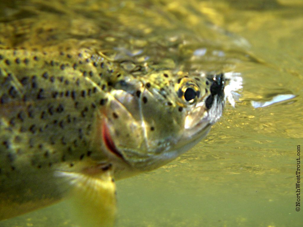 Rainbow Trout Pictures Free