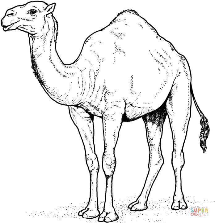 Arabian Camel   Super Coloring   Kids school projects   Pinterest ...