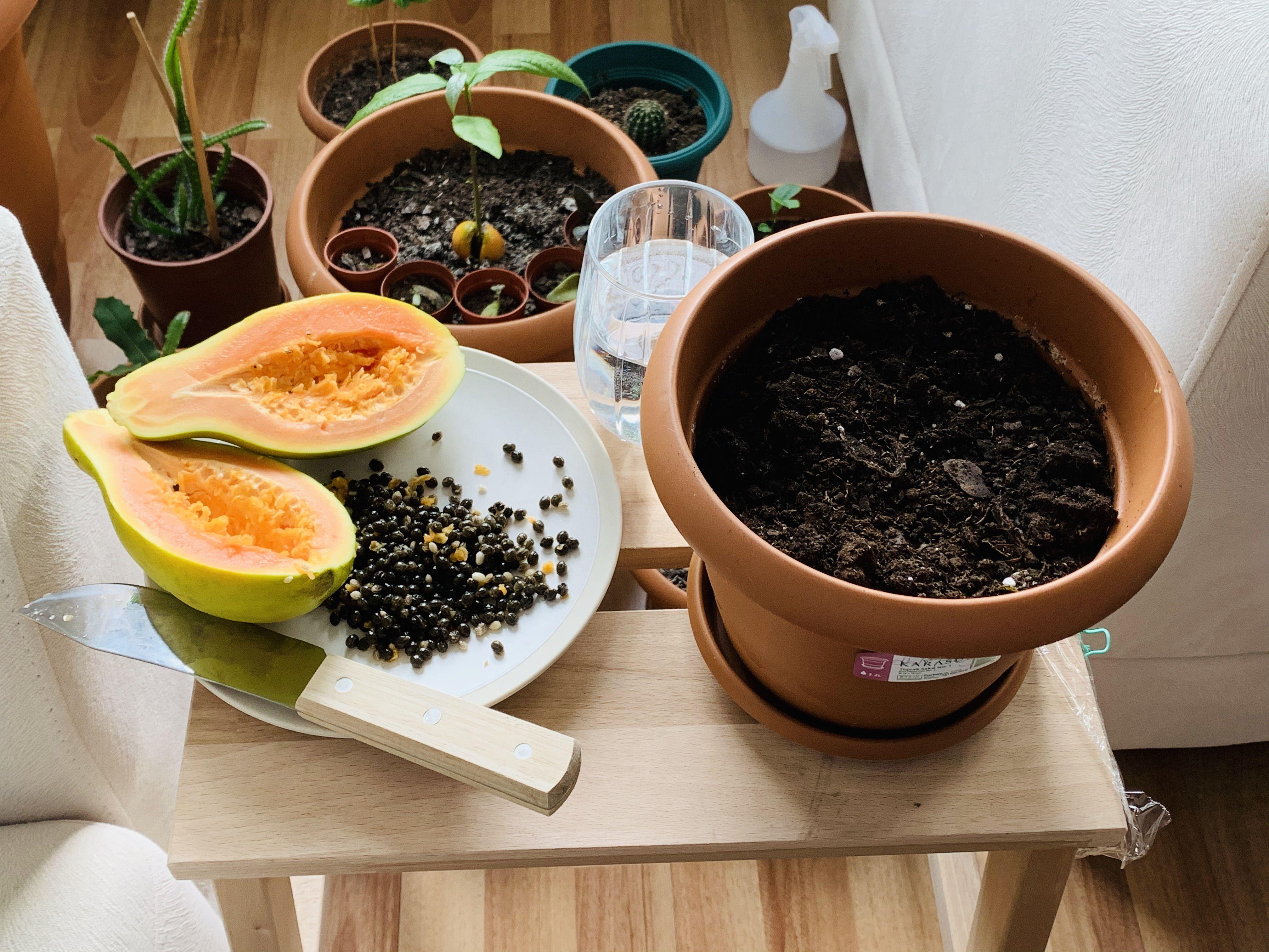Grow papaya tree from seed 2020