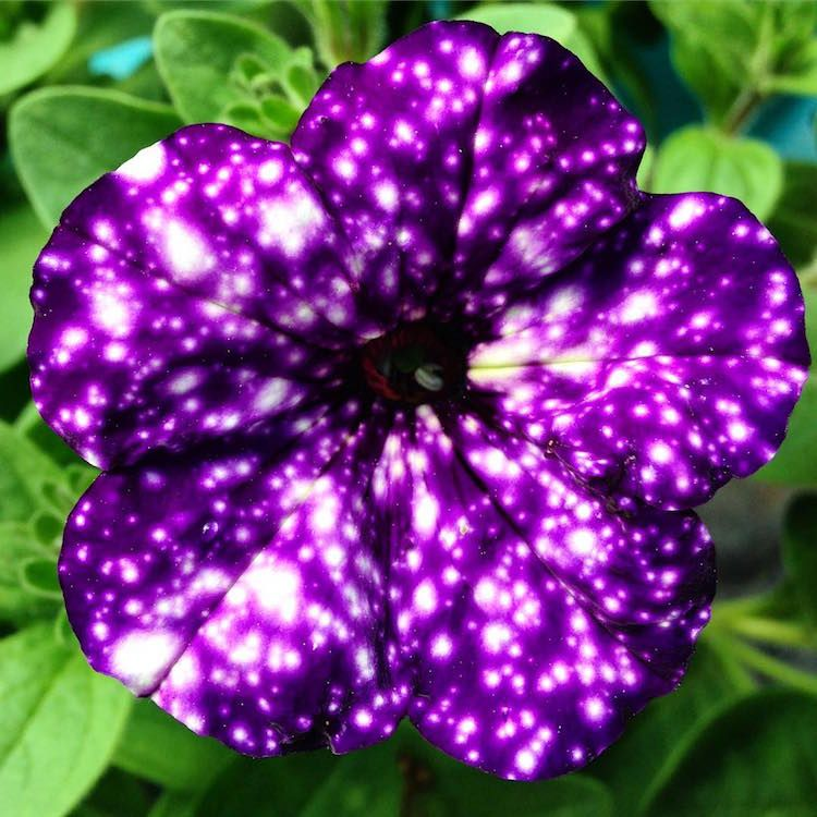 Spectacular Galaxy Flowers Look Like They Hold The Universe In Their Petals Night Sky Petunia Galaxy Flowers Petunias
