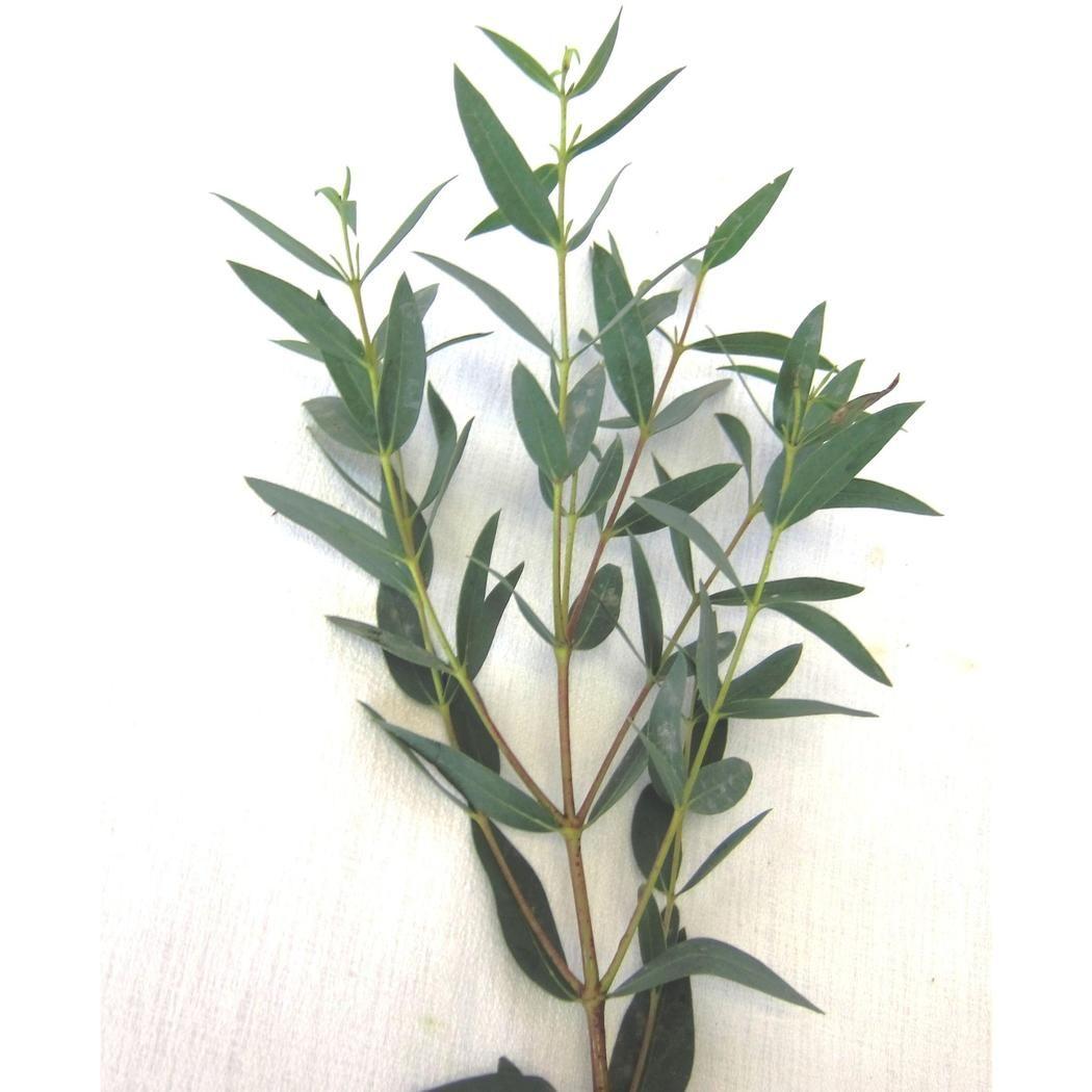 Parvifolia Gunni Eucalyptus