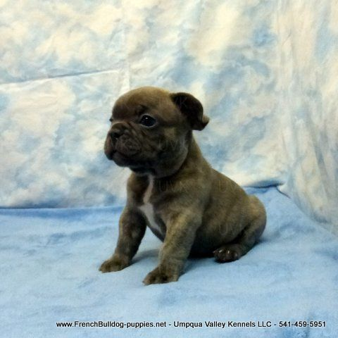 Akc French Bulldog Puppies Oregon French Bulldog Breeders