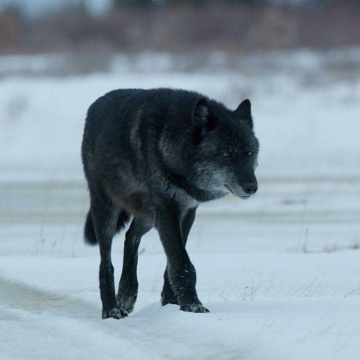 ✔ Anime Wolf Female Grey Wolves #animeartist #animeedits #animestyle