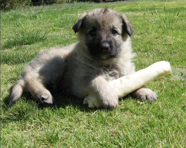 Sable German Shepherd Puppy Named Bria 1 Month Old Animales Y Mascotas Mascotas Animales