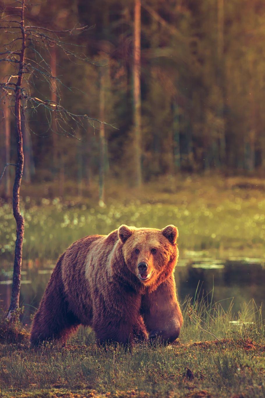 Pin von Iceman auf animales | Pinterest | Bären, Waldtiere und Schnee