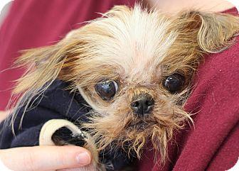 College Station Tx Pekingese Yorkie Yorkshire Terrier Mix Meet Gidget 3 4 Pounds A Dog For Adoption Http Www Ad With Images Dog Adoption Pekingese Pekingese Mix