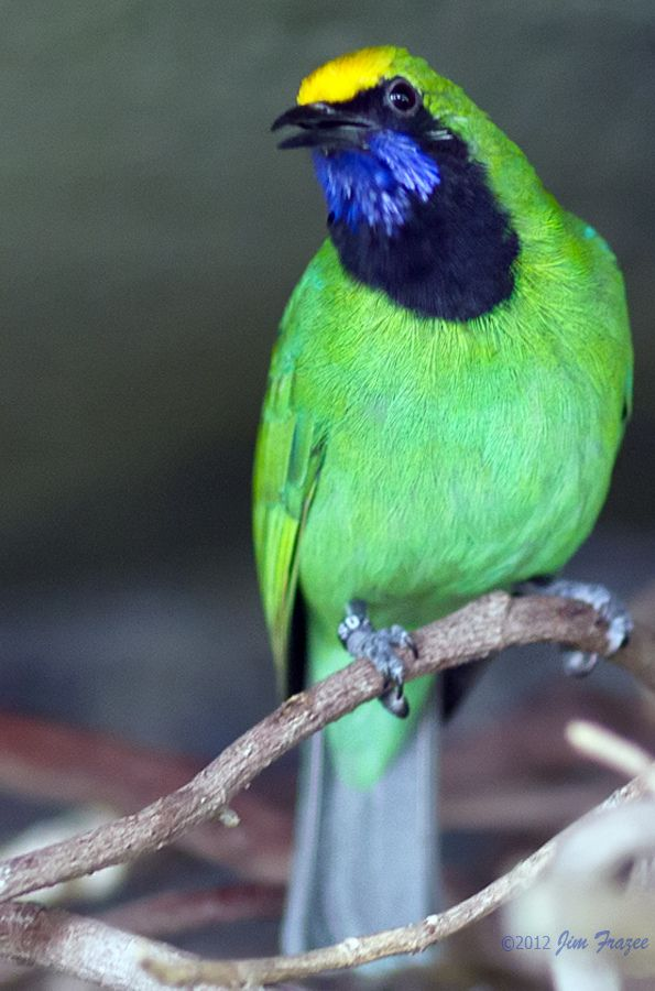Conflicted Golden Fronted Leafbird Beautiful Birds Most Beautiful Birds Pretty Birds