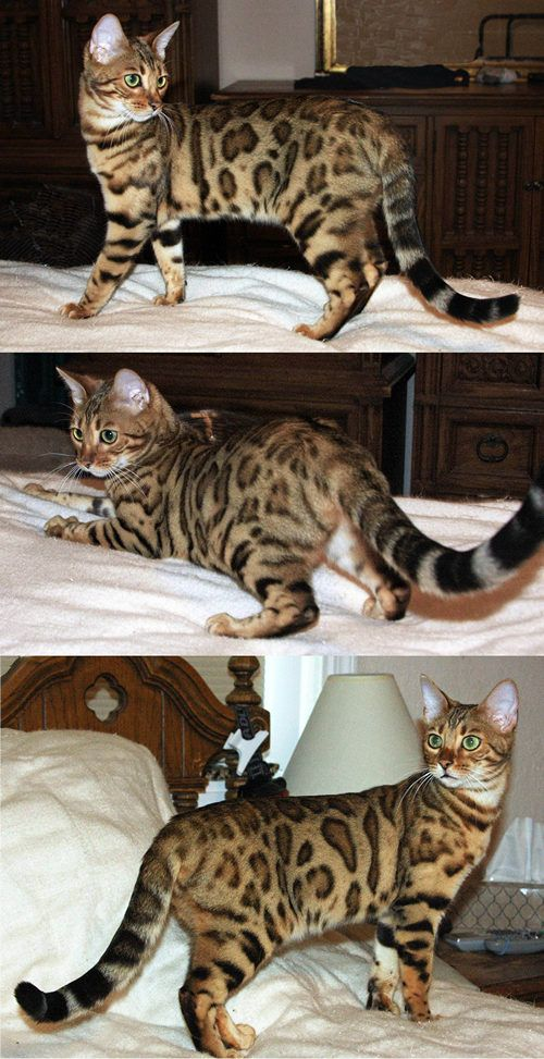 Bengal Kitten L'Oreal pictured at 9 months of age