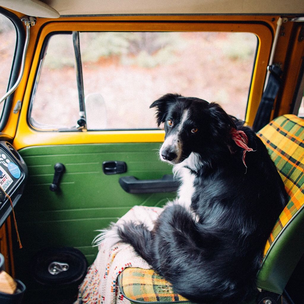 One last drive in Mellow the VW. #dog #bordercollie