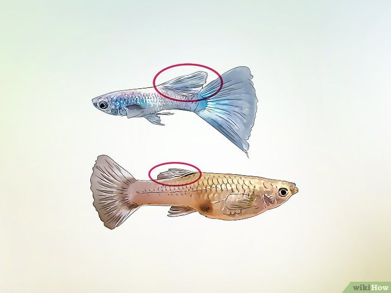 How To Identify Male And Female Guppies 7 Steps With Pictures Guppy Fish Guppy Fish Breeding