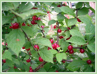 Cherries on the tree!