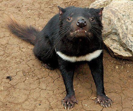 Diablo de Tasmania (Sarcophilus harrisii), Animal en Peligro de ...